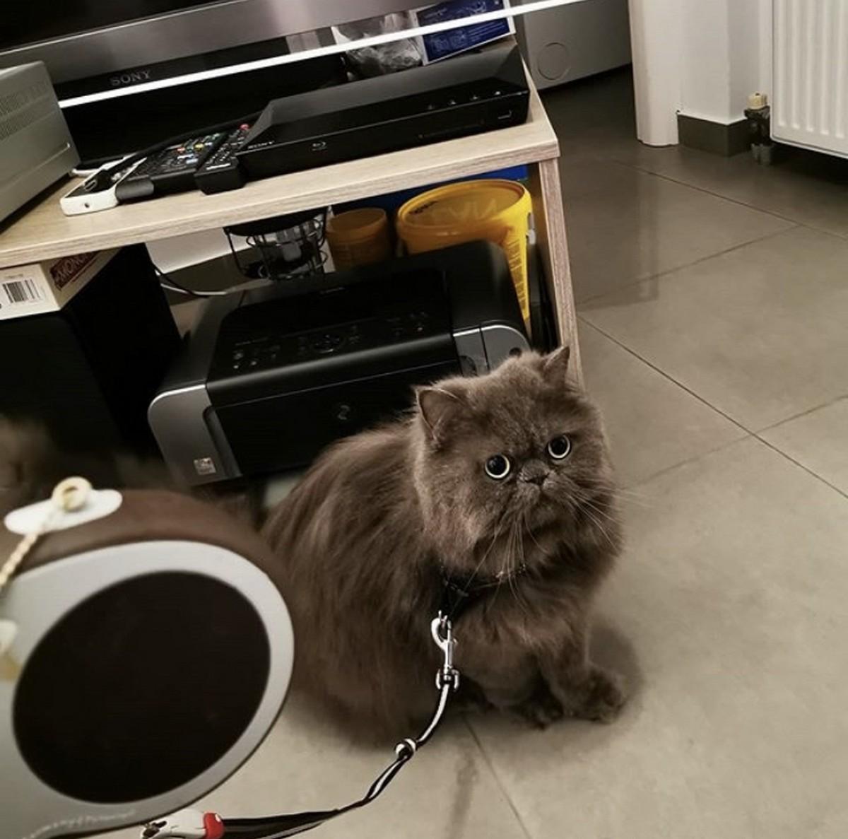 γάτα με λουρί